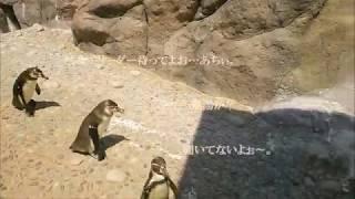 マリンピアで見つけたかわいいフンボルトペンギン3羽が とてもかわいく...