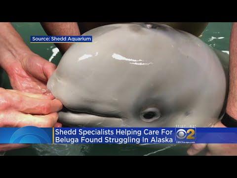 Shedd Aquarium Experts Help Alaska Team Treat Orphaned Beluga Calf