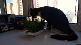 Кошка ест траву (ASMR)