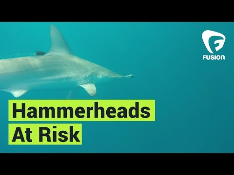 Hammerhead Sharks Are Super Vulnerable To Overfishing