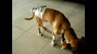Сложный перелом костей таза у собаки