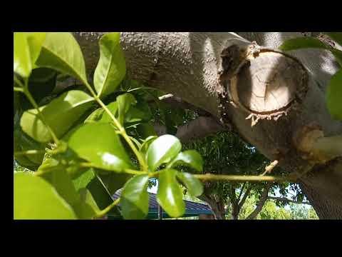 Ash Tree Ash Fly Mesa AZ  480 969 8808 Warner's Tree Surgery 452018