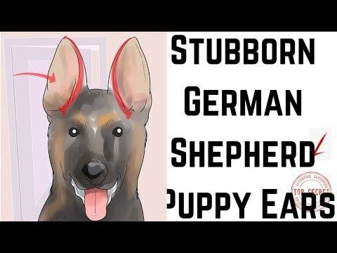 How to Tape Up Stubborn German Shepherd Puppy Ears