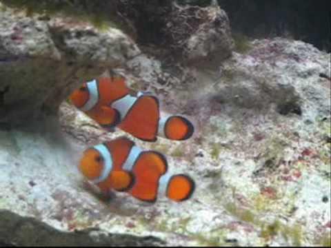 Clown Fish Dance (mating)