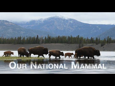 Our National Mammal - A Yellowstone Buffalo Documentary