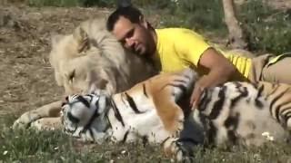 Дружное трио лев,тигр и человек Позитив yo,un tigre y un leon  прикол, любовь, жесть, ржака, порно,