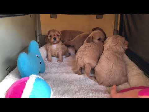 Toy Cavoodles at play - Daisy and Chilli's pups 2018