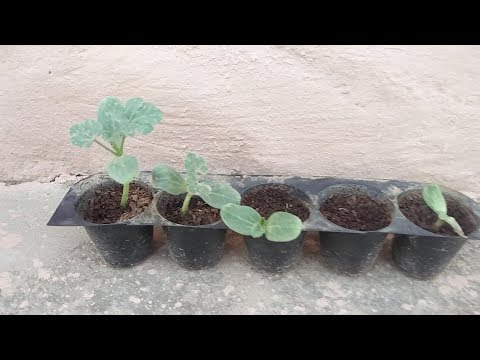 Watermelon From Seeds How To Grow Seed English