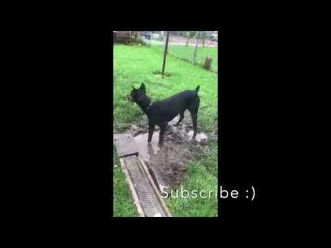 Doberman Getting Dirty - Dog Having Too Much Fun In The Rain
