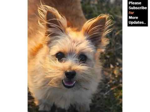 Collection Of Cute Pictures Of Dog Terrier Type | Norfolk Terrier