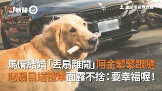馬麻結婚「丟扇離開」阿金緊跟 叼扇目送禮車面露不捨|寵物|狗|黃金獵犬