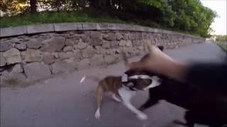 Амстаффтерьер против Ротвейлера/Amstaffterrier vs Rottweiler (GoProHero3+)