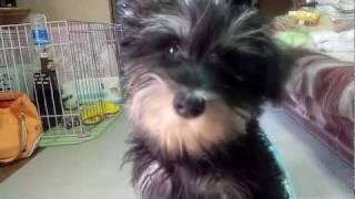 Miniature Schnauzer あくびをするピリカ(pirka Is A Yawn.)