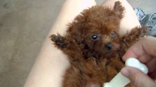 Red Teacup Baby Poodle!!