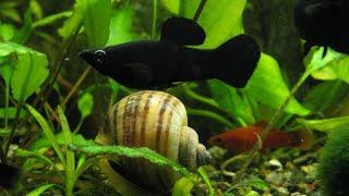 Аквариумные рыбки ,черные моллинезии и меченосцы  Mollienesia sphenops, Xiphophorus hellerii
