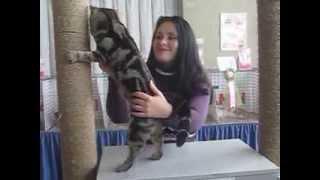 видео Американская короткошерстная кошка