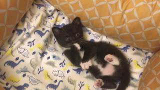 3 1/2 Week Old Foster Kittens Learning from their Mom!