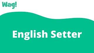 English Setter   Wag!