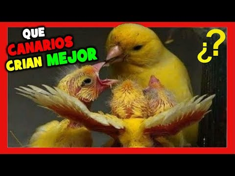 Which canaries are easier to breed 🐤 Tricks to raise canaries | Canarian breeding