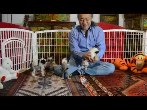 Lily's Chinese Crested puppies 7 wks 1 of 2