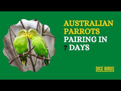 Australian Parrots   Australian Parrots Fast Pairing Tip   Pairing In 1 Week Only #dicebirds