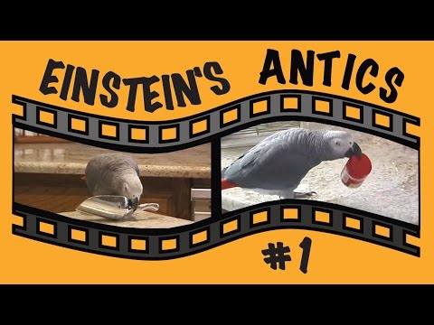 Einstein Parrot's Antics – Montage #1 – Household items become parrot toys
