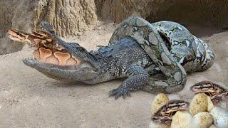 Python Attacks Crocodile To Save Her Eggs
