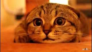Шотландский вислоухий котенок на охоте