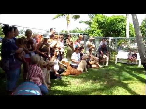 Hawaii Fi-do Service Dogs of Hawaii; Memorial Day Labradoodle Puppy Romp 2012