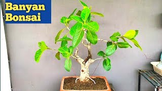How to repot large banyan Bonsai.बरगद को रिपोट करने का आसान तरीका। gardening on rooftop