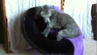 Italian Greyhound Poodle Electric Hairdo