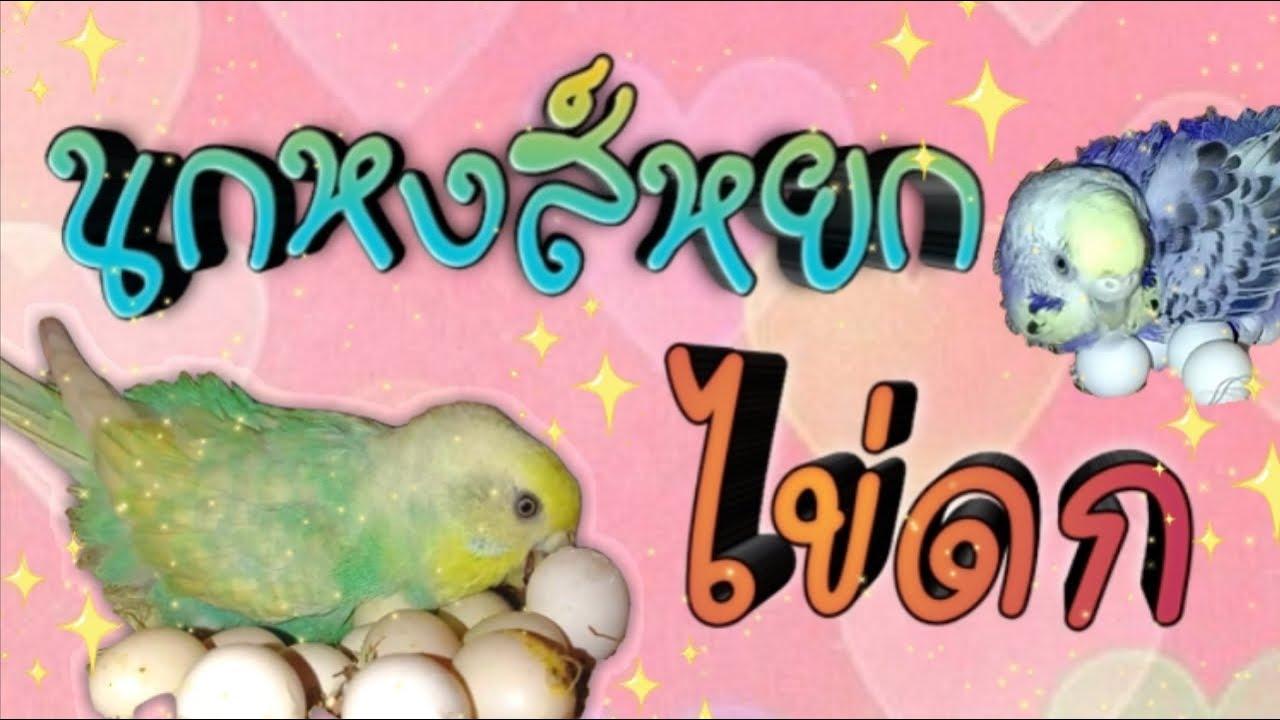 #นกหงส์หยกไข่ดก #ปัญหานกจิกกัน #นกหงส์หยก