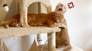 キャットタワーの取り合いで兄猫にブチ切れる短足猫