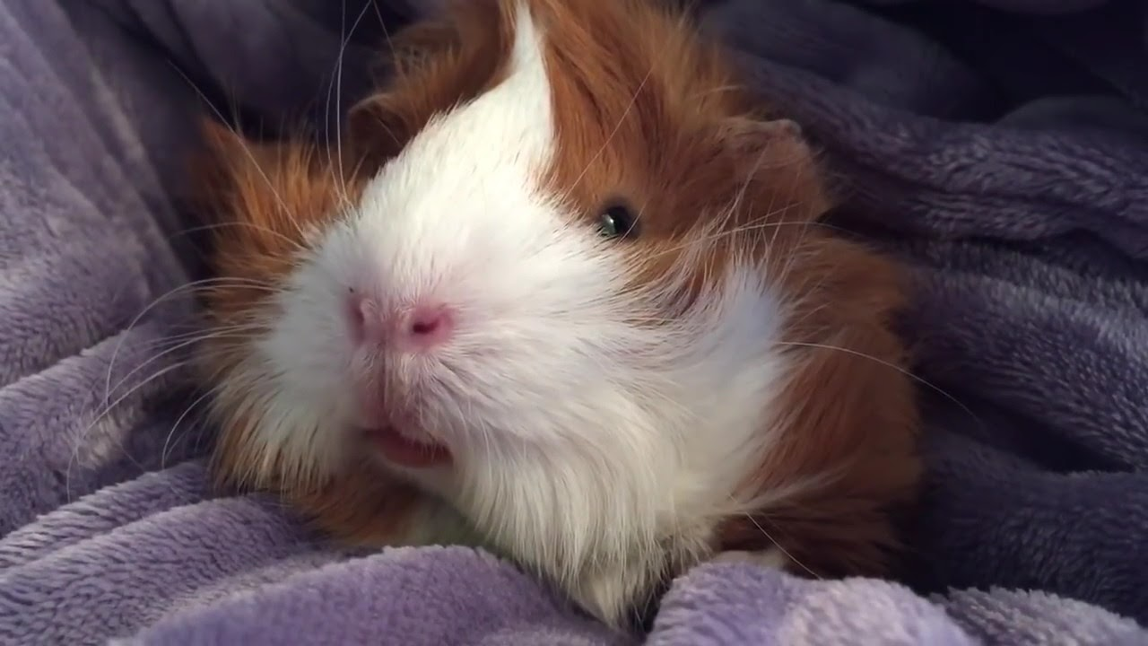 Cuddles with guinea pig Puffy Fluffy - YouTube