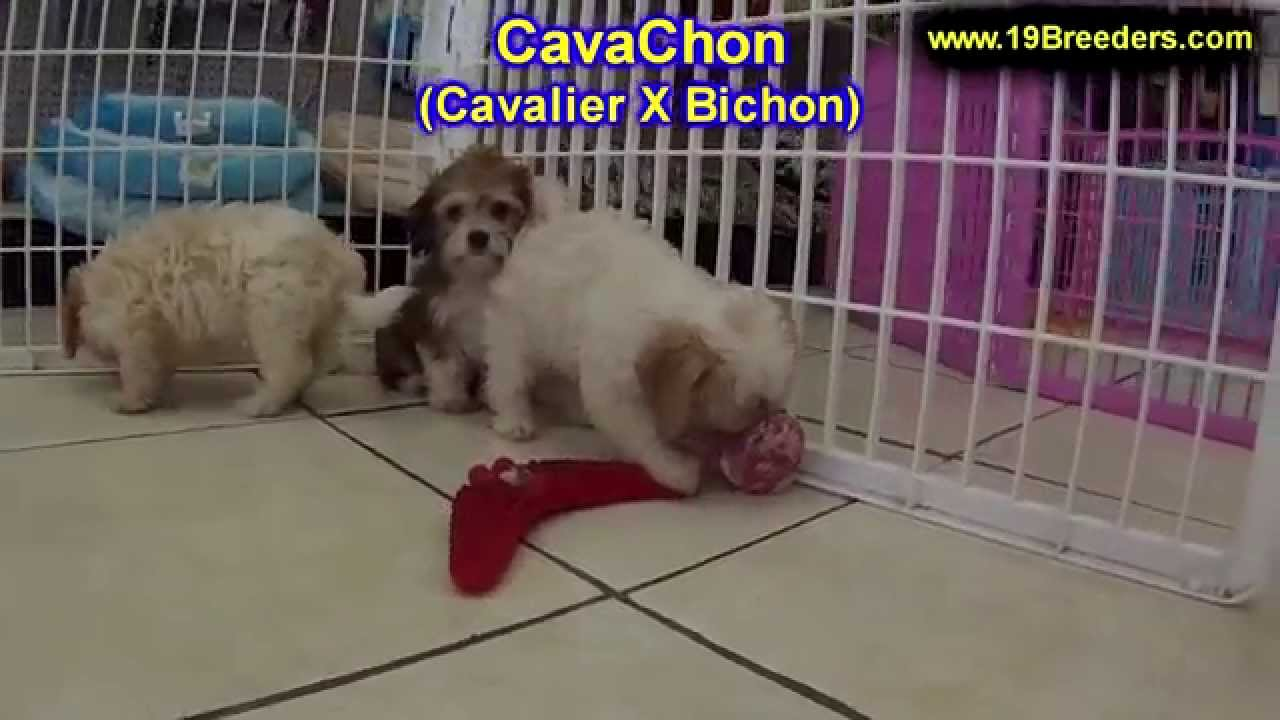 Cavachon Puppies Dogs For Sale In Montgomery Alabama Al