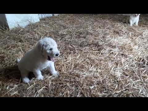 Somogyi Betyár Komondor puppies