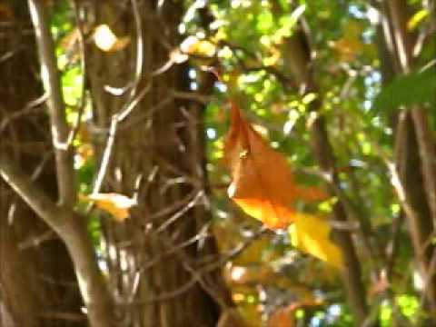 Magical Spinning Leaf w/ Wood Thrush song
