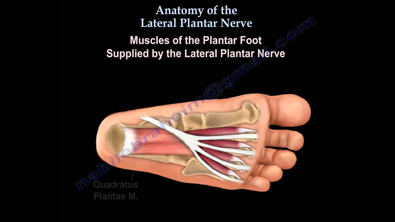 Anatomy Of The Lateral Plantar Nerve - Everything You Need To Know ...