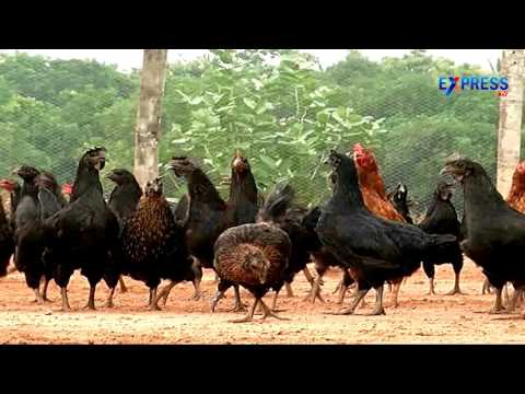 Free range Country Chicken farming in Mixed Agriculture by Y.Narayana Rao - ExpressTV