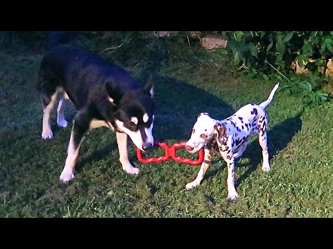 Dalmatian Playing Tug With Malamute
