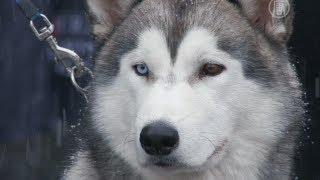 Чемпионат северных собак прошел в Киеве