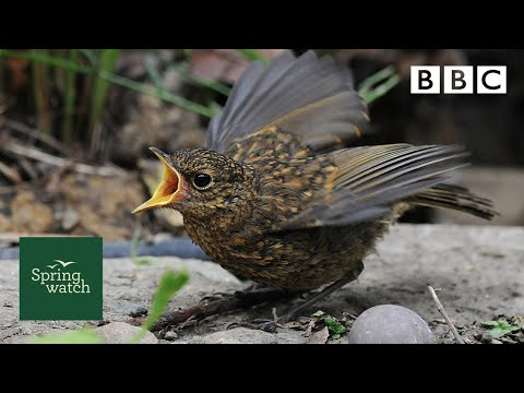 Our spring wildlife webcams live! 🐤🦊🐿 - Sun 31 May - Springwatch - BBC