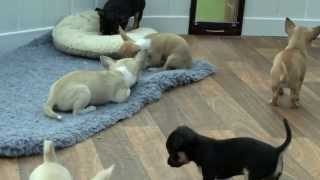 Chihuahua Puppies in the Puppy House May 6th 2012.wmv