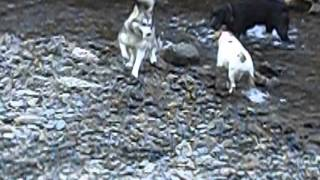 Beautiful And Adorable Siberian Husky Puppy, Springer Spaniel Cross Labrador And Beagle Dogs At Play