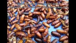 MUST SEE ! Terracycle China GuangDong Largest Mealworm Farming Facility