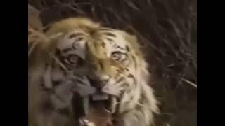 Berburu harimau berburu dibunuh ole...