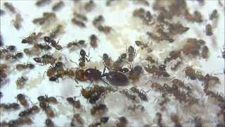 Voyage chez les fourmis acrobates (Crématogaster scutellaris)