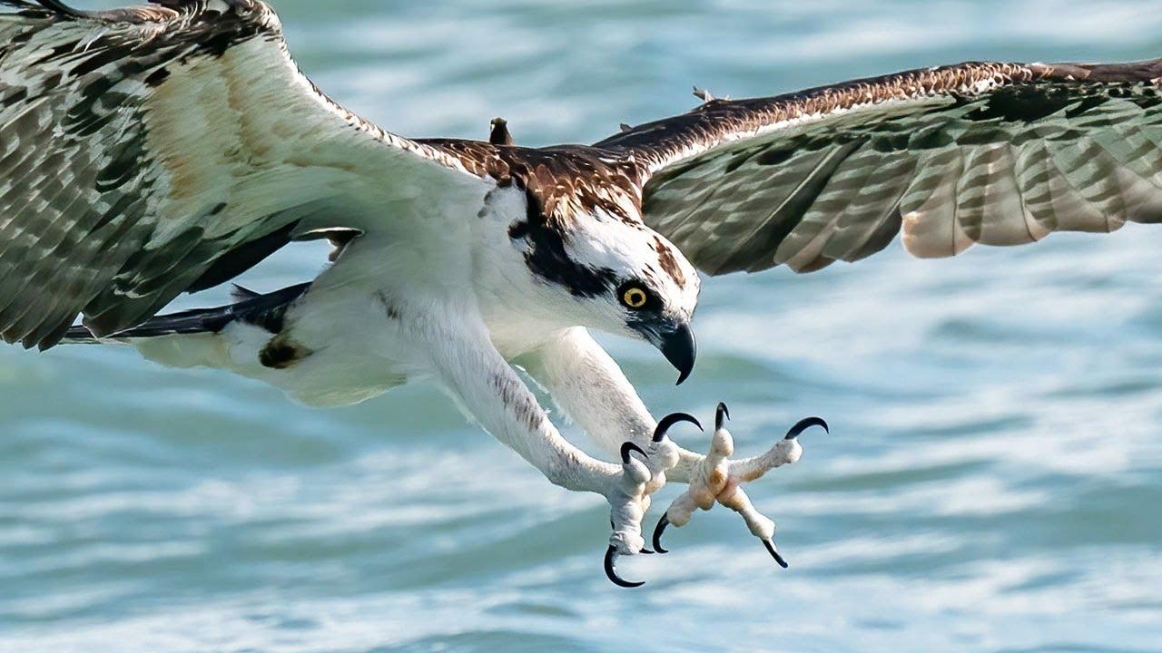 Insane Feeding Frenzy - Osprey, Sharks, Tarpon - Fall Mullet Run - Shot on Sony A1 - A7S3 200-600mm