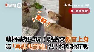 柯基犬想邀玩!鸚鵡突喊:再亂叫罰站 媽:狗都牠在教|寵物動物|狗狗|鳥|搞笑