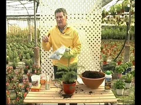 El Jardinero En Casa Aracauria Celsa Youtube